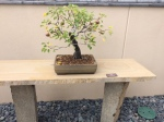 Wk 33 Pear Tree 2 IMG_3065